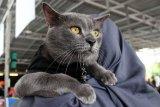 Nutrisi kucing ras dan lokal berbeda