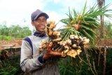 Petani jahe Mansur (40 tahun) memperlihatkan tanaman jahe hasil panen dari kebunnya di Desa Pasak Piang, Kecamatan Sungai Ambawang, Kabupaten Kubu Raya, Kalimantan Barat, Kamis (2/7/2020). Di atas lahan gambut seluas 2.500 m2 yang dibuka serta dibersihkannya tanpa dibakar tersebut Mansur menanam jahe dengan menggunakan teknik budidaya organik yang mengandalkan mikroba pengurai bernama F1 Embio, guna mengembalikan kesuburan untuk memperbaiki keseimbangan ekologi tanah. ANTARA FOTO/Jessica Helena Wuysang/aww.