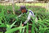 Petani Mansur (40 tahun) merawat tanaman jahenya di Desa Pasak Piang, Kecamatan Sungai Ambawang, Kabupaten Kubu Raya, Kalimantan Barat, Kamis (2/7/2020). Di atas lahan gambut seluas 2.500 m2 yang dibuka serta dibersihkannya tanpa dibakar tersebut Mansur menanam jahe dengan menggunakan teknik budidaya organik yang mengandalkan mikroba pengurai bernama F1 Embio, guna mengembalikan kesuburan untuk memperbaiki keseimbangan ekologi tanah. ANTARA FOTO/Jessica Helena Wuysang/aww.