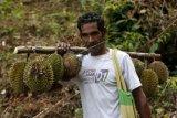 Panen Durian Lokal