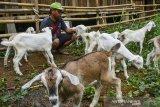 Peternak memberi makan anak kambing dari persilangan di Kampung Rancawiru, Kecamatan Baregbeg, Kabupaten Ciamis, Jawa Barat, Senin (6/7/2020). Kambing yang dibudidayakan untuk produksi susu dari persilangan kambing perah Alpin, Saanen dan Sapera ini mampu memproduksi susu kambing sebanyak tujuh liter perharinya yang diperuntukan sebagai bahan baku sabun, yoghurt dan minuman kefir. ANTARA JABAR/Adeng Bustomi/agr