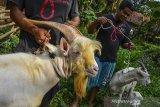 Peternak membawa ternak kambing persilangan di Kampung Rancawiru, Kecamatan Baregbeg, Kabupaten Ciamis, Jawa Barat, Senin (6/7/2020). Kambing yang dibudidayakan untuk produksi susu dari persilangan kambing perah Alpin, Saanen dan Sapera ini mampu memproduksi susu kambing sebanyak tujuh liter perharinya yang diperuntukan sebagai bahan baku sabun, yoghurt dan minuman kefir. ANTARA JABAR/Adeng Bustomi/agr