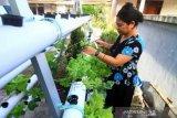 Budidaya sayuran hidroponik di rumah