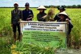 Petani di Banyuasin kembangkan padi hitam di lahan gambut