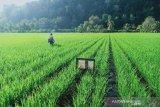 Sebanyak 543 hektare sawah di Kendari panen raya