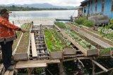 Kampung Dondai tanam sayuran metode Vertikultur