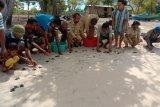Pokmaswas di Flores Timur lepaskan 105 tukik ke laut