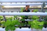 Warga Selat Panjang yaitu Theresia Septriana memeriksa sayuran yang ditanamnya dengan sistem hidroponik di perkarangan rumahnya di Pontianak, Kalimantan Barat, Minggu (5/7/2020). Theresia menanam sayuran seperti selada, sawi, kailan, seledri dengan menggunakan sistem hidroponik dan tanpa pestisida di lahan terbatas tersebut menjadi solusi baginya untuk menjaga ketahanan pangan di masa normal baru serta mengurangi aktivitas belanja di pasar yang dipadati pengunjung. ANTARA FOTO/Jessica Helena Wuysang