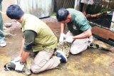 Warga Kotim serahkan buaya ke BKSDA karena takut diserang