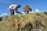 Musim panen tiba, produksi padi Abdya lebihi target nasional