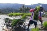 Petani Sigi  mulai pakai teknologi dalam menanam padi sawah