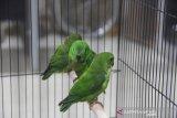 Burung serindit gagal diselundupkan ke Jakarta
