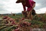 Petani bawang Bantul raup untung 100 persen penjualan lelang