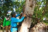Petugas memasang kamera trap di Taman Nasional Baluran, Situbondo, Jawa Timur, Kamis (9/7/2020). Pemasangan 65 kamera trap itu, untuk memantau perkembangan populasi banteng yang ada di TN Baluran. Antara Jatim/Budi Candra Setya/zk