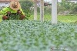 Petani menyusun bibit tanaman sayur kembang kol di Desa Darawolong, Karawang, Jawa Barat, Jumat (10/7/2020). Pembibitan tanaman sayur di desa tersebut dikembangkan menggunakan dana desa dan penyertaan modal Badan Usaha Milik Desa (BUMDes) guna memperkuat ekonomi desa pada sektor pertanian produktif. ANTARA JABAR/M Ibnu Chazar/agr