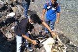 Hendak dijual, 15 kilogram sirip ikan pari manta diamankan dan dimusnahkan di Flores Timur