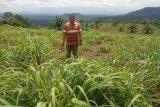 Pesantren di Agam kembangkan serai wangi di lahan tidur seluas 10 hektare