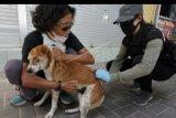 Petugas Dinas Pertanian Kota Denpasar menyuntikkan vaksin anti rabies pada anjing dalam kegiatan vaksinasi di kawasan Pantai Sanur, Denpasar, Bali, Sabtu (11/7/2020). Kegiatan vaksinasi secara serentak yang digelar pada penerapan normal baru tersebut menyasar anjing liar yang berkeliaran di kawasan obyek wisata maupun ruang publik untuk pengendalian rabies. ANTARA FOTO/Nyoman Hendra Wibowo/nym.