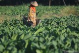 Petani menyiram tanaman tembakau di Desa Bunder, Pamekasan, Jawa Timur, Sabtu (11/7/2020). Pemkab Pamekasan, menetapkan Biaya Pokok Produksi (BPP) tembakau Madura pada musim tanam tembakau tahun 2020 sebesar Rp54.437 per kg  untuk tembakau gunung dan Rp32.708 per kg sawah, serta Rp41.499 per kg untuk tembakau tegal. Antara Jatim/Saiful Bahri/zk