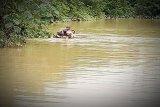 Perjuangan penyuluh pertanian  terobos banjir  Lamandau ggunakan batang pisang
