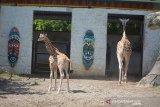 Bayi jerapah (Giraffa camelopardalis)yang diberi nama Kindi dan berjenis kelamin betina berada di dalam kandang Maharani Zoo Paciran, Kabupaten Lamongan, Jawa Timur, Senin (13/7/2020). Bayi jerapah bernama Kindi itu lahir secara normal pada 15 Juni dengan berat 70 kilogram dari indukan Sandra dan William, Kindi merupakan anak ke 5 dari indukan tersebut. Antara Jatim/Syaiful Arif/zk