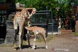Bayi jerapah (Giraffa camelopardalis)yang diberi nama Kindi dan berjenis kelamin betina menyusu induknya di dalam kandang Maharani Zoo Paciran, Kabupaten Lamongan, Jawa Timur, Senin (13/7/2020). Bayi jerapah bernama Kindi itu lahir secara normal pada 15 Juni dengan berat 70 kilogram dari indukan Sandra dan William, Kindi merupakan anak ke 5 dari indukan tersebut. Antara Jatim/Syaiful Arif/zk