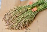 Balitbangtan luncurkan Biobestari Agritan, padi gogo produktivitas tinggi