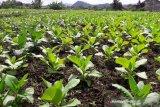 Luas tanaman tembakau di Temanggung turun menjadi 4.600 hektare
