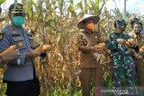 Pemerintah Kota Pariaman dapat bantuan bibit jagung untuk 200 hektare lahan