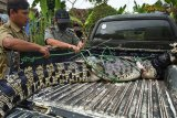 Petugas Balai Konservasi Sumberdaya Alam (BKSDA) Banten dibantu warga mengevakuasi buaya muara (Crocodylus porosus) yang baru tertangkap di aliran Sungai Cidanau Kampung Ciparay, Cinangka, Serang, Banten, Senin (13/7/2020). Buaya muara dengan panjang sekitar 3 meter dan berat 250 kilogram itu ditangkap warga bersama petugas BKSDA Banten untuk selanjutnya akan direhabilitasi di pusat penangkaran dan konservasi buaya di Pandeglang. ANTARA FOTO/Asep Fathulrahman/pras.