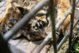Seekor Harimau Sumatera Masuk Perangkap BKSDA Sumbar