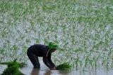 Sumsel dorong penyerapan KUR pangan kejar tiga besar  produksi padi