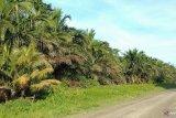 Sagu dijadikan cadangan pangan masyarakat Salawati Tengah dimasa pandemi COVID-19