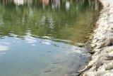 Gawat, ratusan ikan nila mati di Danau Raja