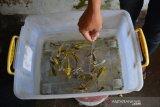Warga menunjukkan ikan koi kawari di sentra budidaya ikan hias Desa Kedungmlati, Kecamatan Kesamben, Kabupaten Jombang, Jawa Timur, Sabtu (18/7/2020). Dalam sebulan peternak ikan koi kawari di Desa setempat rata-rata bisa menjual 1000 ekor ke pasar ikan hias serta pecinta ikan koi dengan harga Rp5 ribu per sentimeternya. Antara Jatim/Syaiful Arif/zk