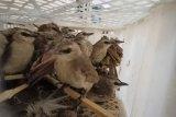 Karantina Pertanian Lampung sita 998 ekor satwa ilegal dalam sepekan