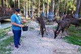 Gubernur Sugianto Sabran dukung pelestarian rusa di Kalimantan Tengah