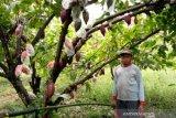 Yayasan WVI latih petani di Parigi Moutong  cegah hama kakao