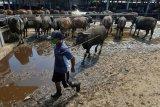 Pekerja mempersiapkan sapi Bali untuk dikirim ke Pulau Jawa di Pasar Hewan Beringkit, Badung, Bali, Rabu (22/7/2020). Permintaan pengiriman sapi Bali ke berbagai daerah di Jawa menjelang Idul Adha tahun 2020 mengalami penurunan dibandingkan tahun lalu akibat kondisi perekonomian terdampak pandemi COVID-19. ANTARA FOTO/Nyoman Hendra Wibowo/nym.
