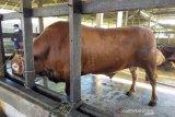 Presiden berkurban sapi bobot 1 ton untuk warga daerah ini