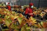 Indonesia berpotensi besar menjadi pengekspor tanaman aglaonema