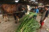 Presiden Jokowi siapkan sapi kurban berbobot 1,3 ton buat warga Kalteng