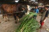 Presiden Jokowi siapkan sapi kurban untuk Kalteng