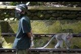 Seorang petugas berjalan di dekat seekor kera ekor panjang (Macaca fascicularis) di Monkey Forest Ubud, Gianyar, Bali, Sabtu (25/7/2020). Meskipun berbagai objek wisata di Pulau Dewata saat ini telah dibuka, namun pengelola Monkey Forest Ubud memutuskan belum membuka kunjungan bagi wisatawan untuk mencegah pandemi COVID-19 dan tetap memastikan seluruh kera yang ada di kawasan itu dalam kondisi sehat dan terpenuhi kebutuhan pakannya selama penutupan kawasan. ANTARA FOTO/Fikri Yusuf/nym