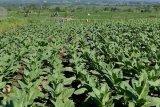 Penyederhanaan tarif cukai ancam industri hasil tembakau