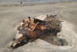 Bangkai penyu belimbing terdampar di pantai Lampung Timur