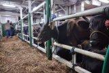 Ratusan sapi kurban asal Kupang tiba di Pelabuhan Dumai