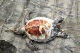 Bangkai penyu dewasa ditemukan di pantai wisata Mutiara Baru Lampung Timur