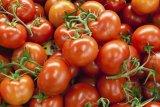 Kelompok tani muda kembangkan tomat besar berkualitas substitusi impor