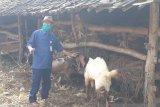 Gunung Kidul terbitkan 523 rekomendasi penyembelihan hewan kurban